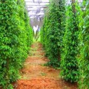 Salt & pepper plantations
